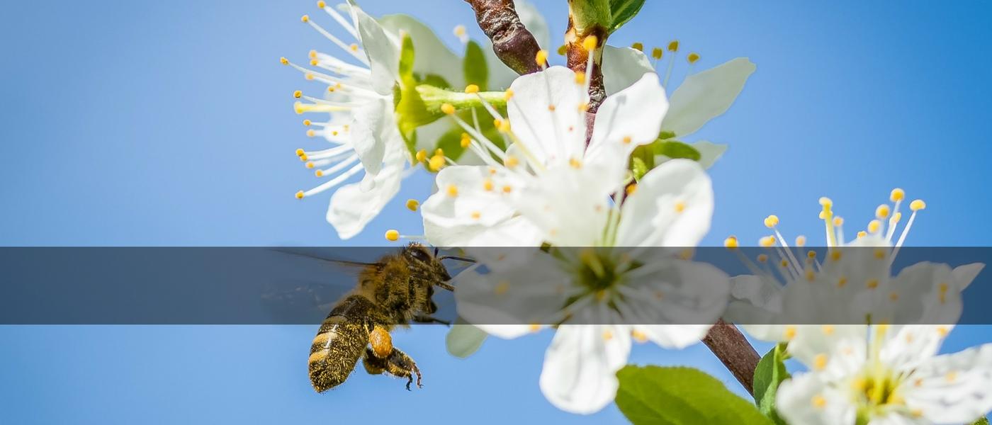 zimex-antles-pollen-líder mundial-en-polinizacion (1)