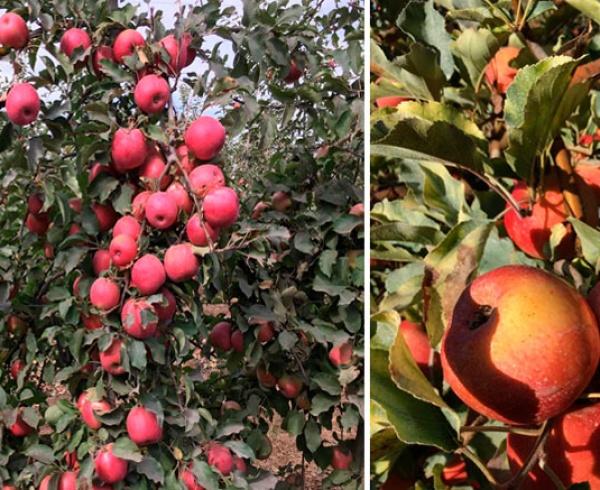 Malla protección de frutales