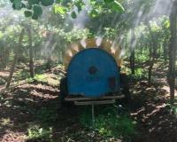 POLINIZACIÓN ASISTIDA en plantación de-kiwi